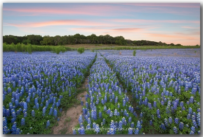 Bluebonnets fill the dry sandy shores along the Colorado River and Lake Travis.