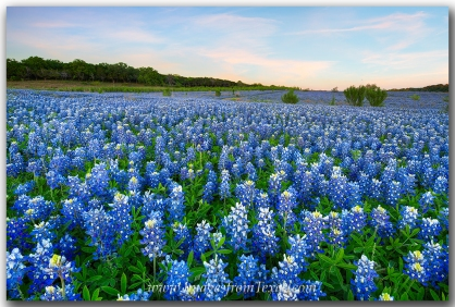 Bluebonnets grow along the shores of Lake Travis on the edge of the Texas Hill Country.